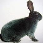 порода кроликов рекс