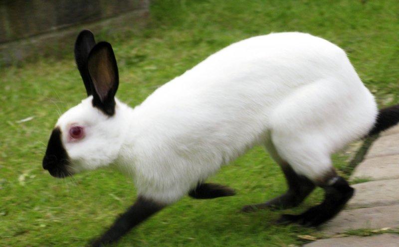 кролик русский горностаевый