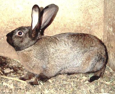 порода кроликов советский мардер