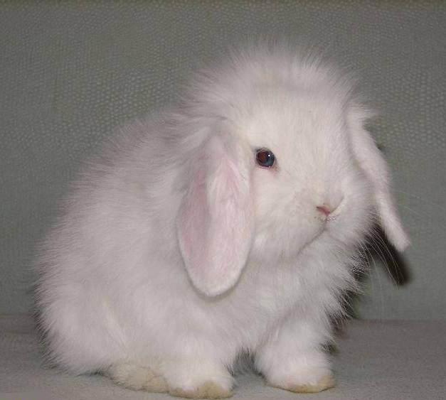 миниатюрный кролик