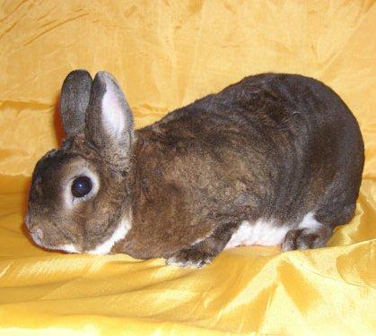 фотография карликового кролика