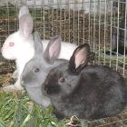 домашнее разведение кроликов
