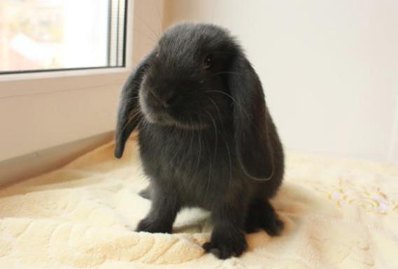 чёрный кролик фото