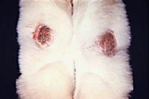 симптомы пододерматита у кроликов