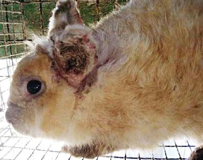 Ушная чесотка (псороптоз) у кроликов: причины, пути ...