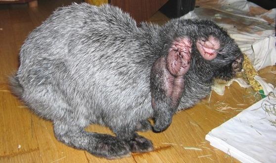 фото болезнь кроликов