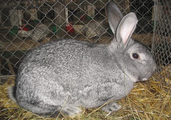 серый великан порода кроликов и особенности разведения
