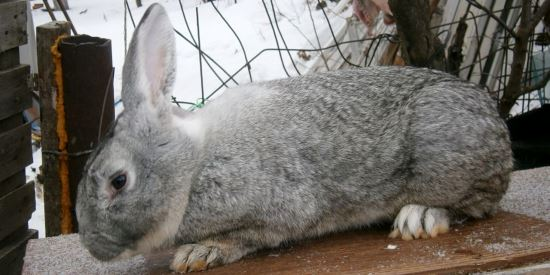 с мясная фотографиями кроликов порода
