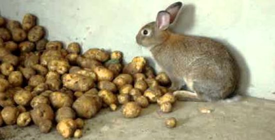 можно ли декоративным кроликам картошку сырую