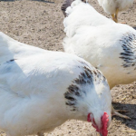 Адлерская серебристая порода кур: характеристика породы