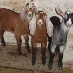 Англо-Нубийские козы — высокопродуктивная порода животных