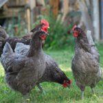 Джерсийский гигант — самая большая куриная порода в мире
