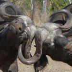 Индийский (водный) и Африканский буйволы