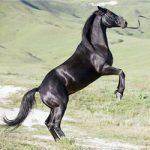 Карачаевские кони: история развития горной породы лошадей