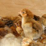 Кучинская Юбилейная порода кур: описание, характеристика