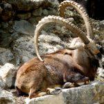Альпийский козел, альпийская коза: описание и характеристика