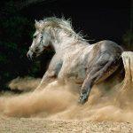 Андалузская лошадь: грация и покорность испанского жеребца