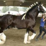 Порода самой крупной лошади — английский тяжеловоз (шайр)