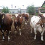 Айрширская порода коров: характеристика и отзывы