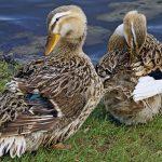 Башкирская утка: домашнее разведение