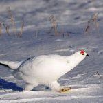 О жительнице бескрайней тундры — белой куропатке