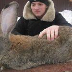 Великан среди пород кроликов — бельгийский фландр