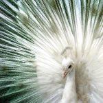 Белый павлин – священная птица Индии