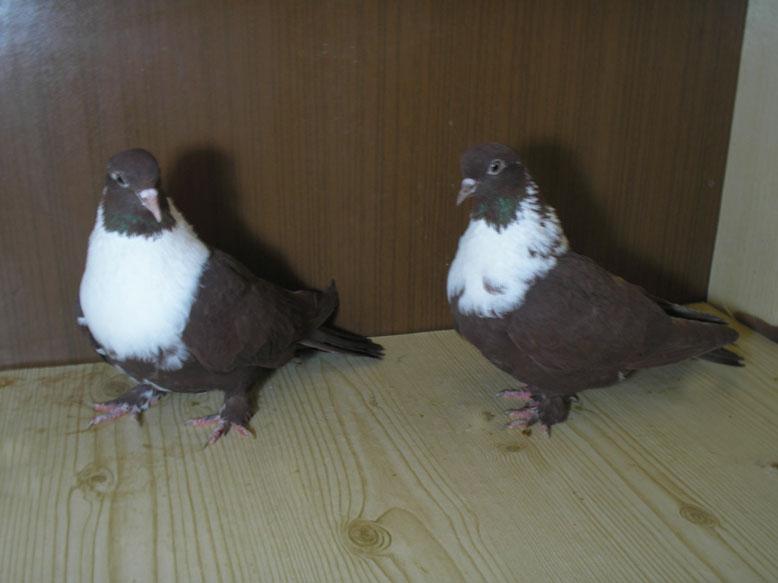 Статные короткоклювые голуби турманы вертуны фото нас можете
