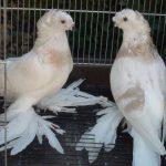 Бойные породы голубей: кувыркающиеся птицы
