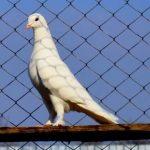 Бойные голуби Такла — особенности турецкой породы