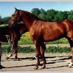 Обзор буденновской породы лошадей, разведение и продажа