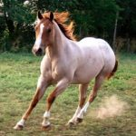Чалая масть. Все о окрасе лошади