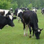 Черно-пестрая порода коров: особенности содержания