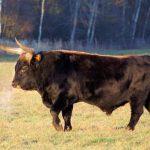 Дикий бык дикие коровы в природе
