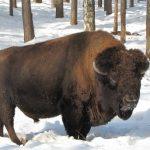 Разновидности диких быков или коров