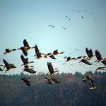 Дикие гуси: разнообразие и отличие видов