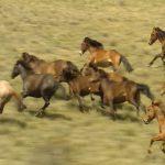 Дикие лошади. Где обитают животные