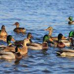 Дикие утки: чем питаются и их разновидность