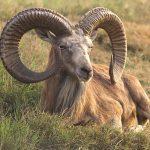 Дикий баран: характеристики муфлона, горного и азиатского