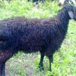 Эдильбаевская порода овец: описание, характеристика