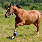 Особенности ганноверской породы лошадей. Конкурный жеребец