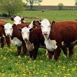 Герефордские коровы и быки, отзывы фермеров о породе герефорд