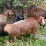 Домашние животные южных регионов: обыкновенный фазан и курдючный баран