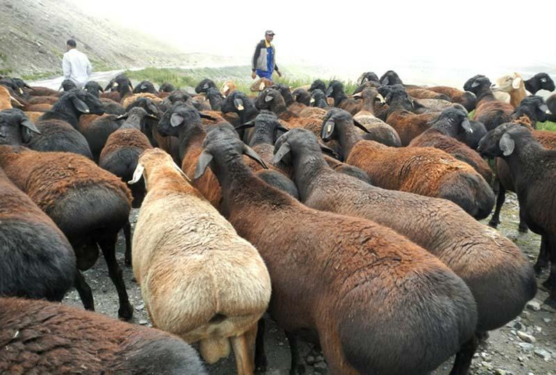 Отличие гиссарских овец от другой породы