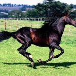 Гнедая лошадь и вороная кобыла