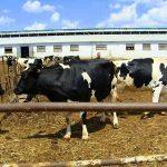 Характеристика голштинской породы коров и бычков