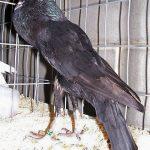 Самые популярные породы птиц и голуби дутыши