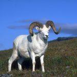Горный козел: мархур, кавказский тур и другие виды