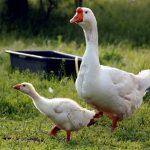 Гуси породы линда: характеристика и описание
