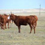Калмыцкая порода коров: особенности ухода за КРС